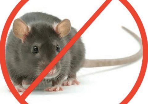 diệt chuột không cần thuốc