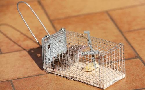 cách diệt chuột ăn rau
