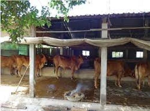 Sử dụng lá bầu đốt quanh chuồng bò.